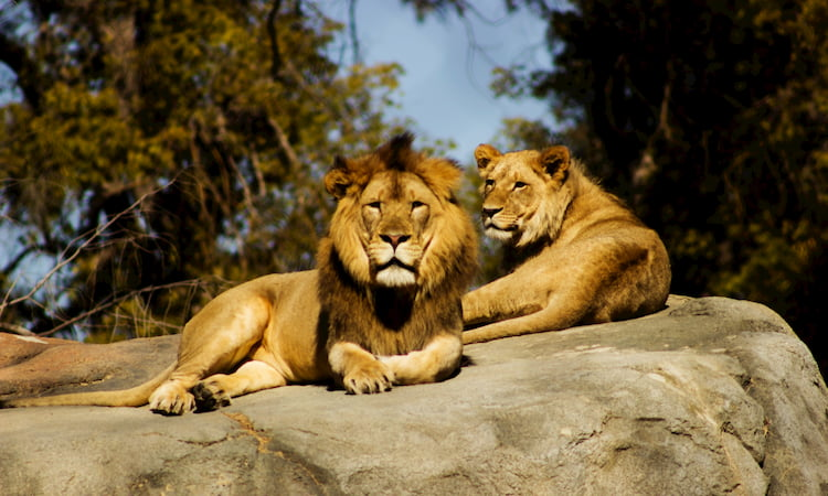 Two lions lounge on a rock in a zoo