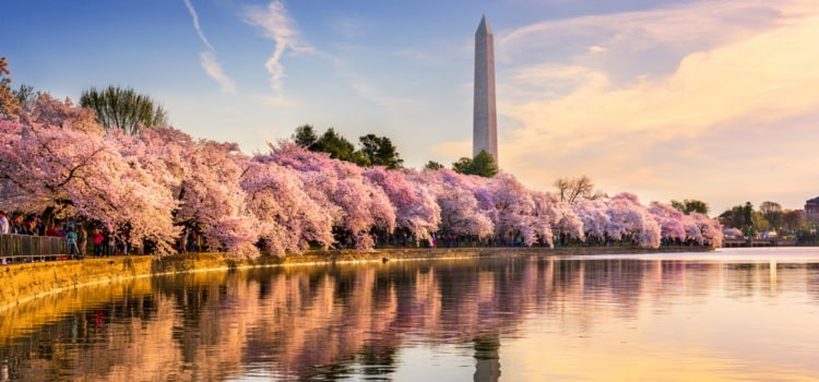 Cherry blossoms bloom along the Tidal Basin, with the Washington Monument in the background