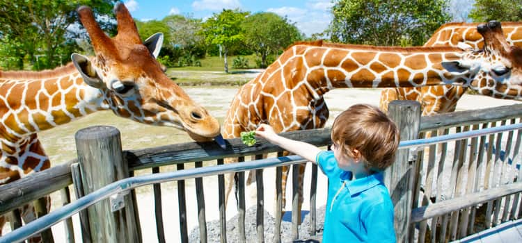 A little boy feeding giraffes at a zoo.
