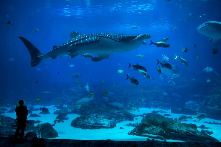 a whale shark and other small fish swim in the Georgia Aquarium's